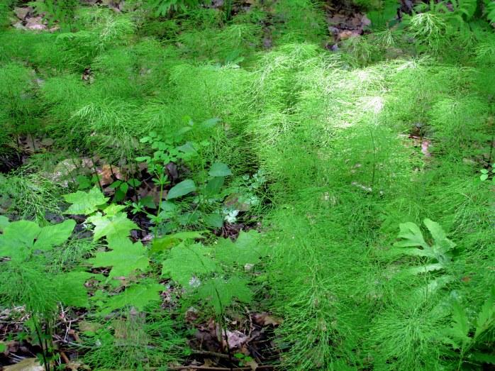 colony of Equisetum (probably E. arvense, aka horsetail)