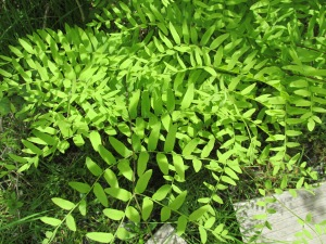 maybe royal fern?