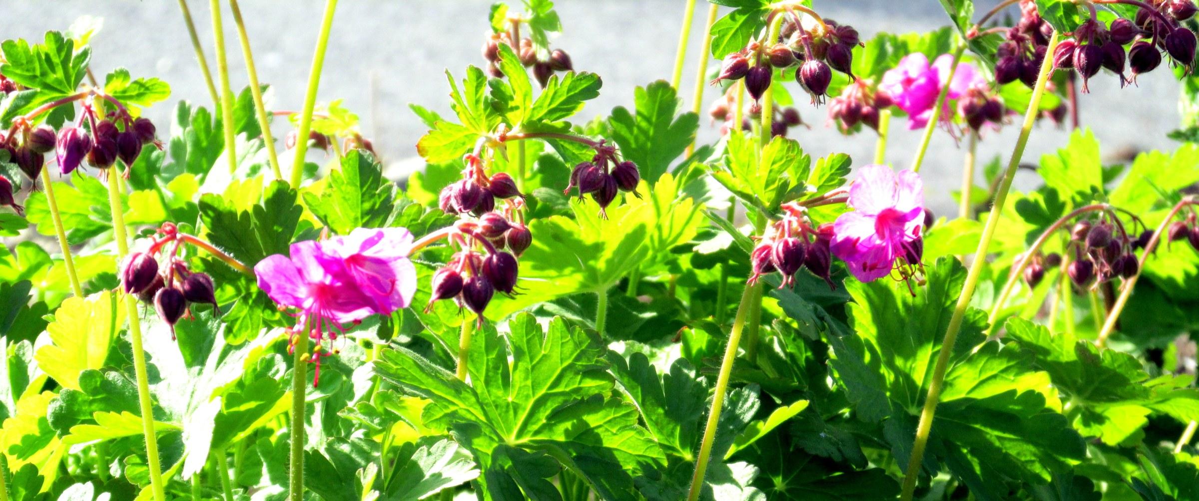 pink geranium (unk variety - plant sale)