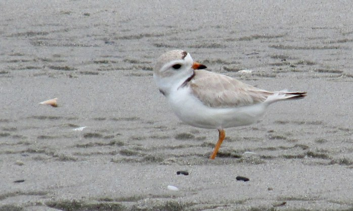 piping plover ... There are signs everywhere telling people (and their dogs) to stay away from the nesting sites