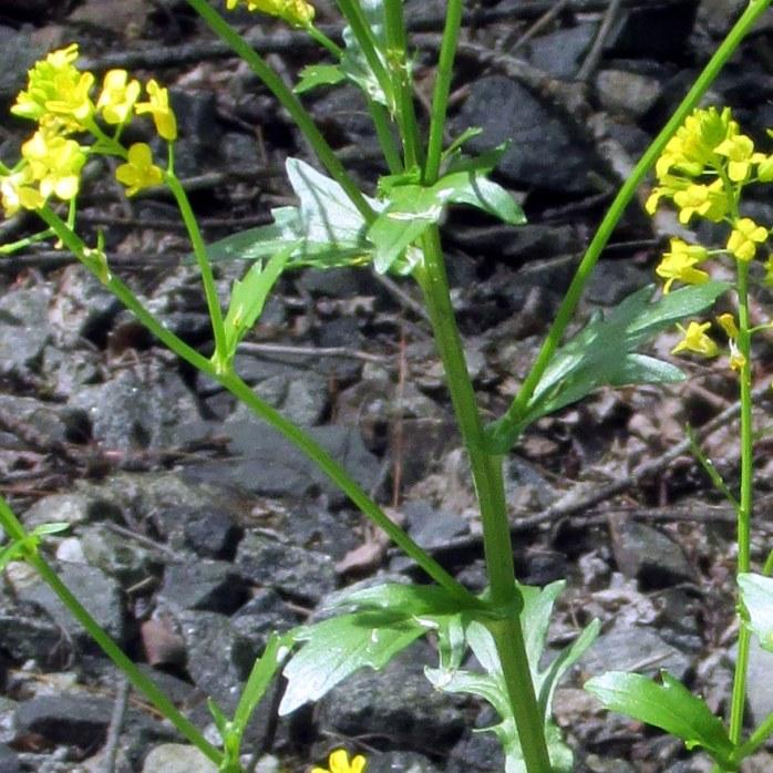 probably Brassica Nigra (black mustard)
