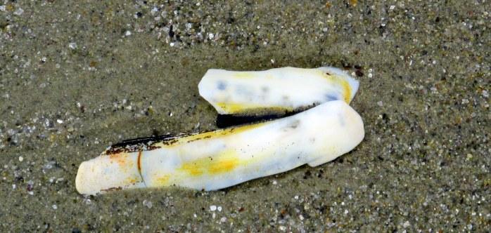 razor clam shell