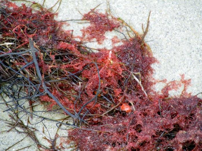 reddish seaweed?