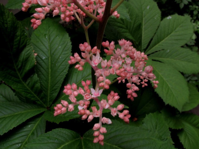 Rodgersia flowers and buds