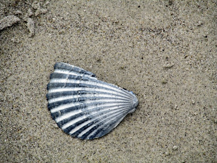 scallop or ark shell fragment