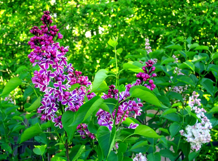 'Sensation' and 'Beauty of Moscow' lilacs in bloom