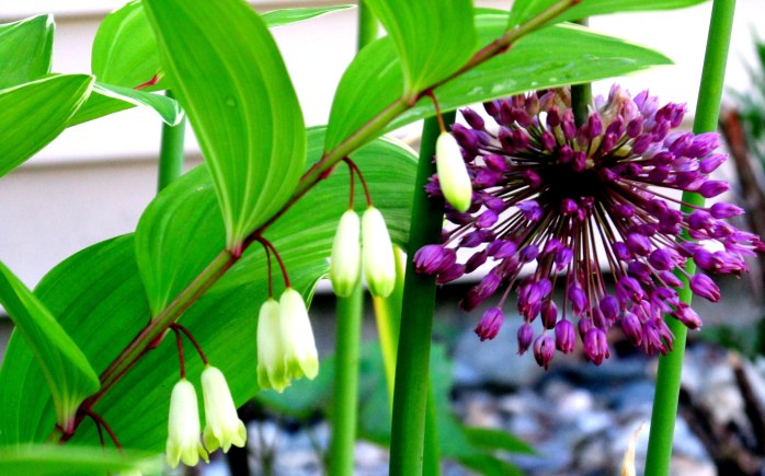Solomon's Seal and giant allium in bloom