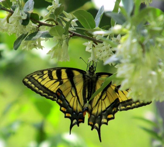 Eastern tiger swallowtail on autumn olive (Elaeagnus umbellata)