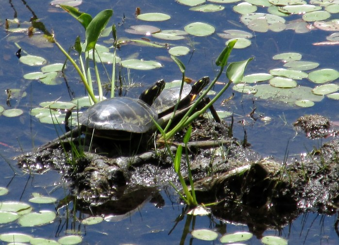 two sunning painted turtles at Horseshoe Pond