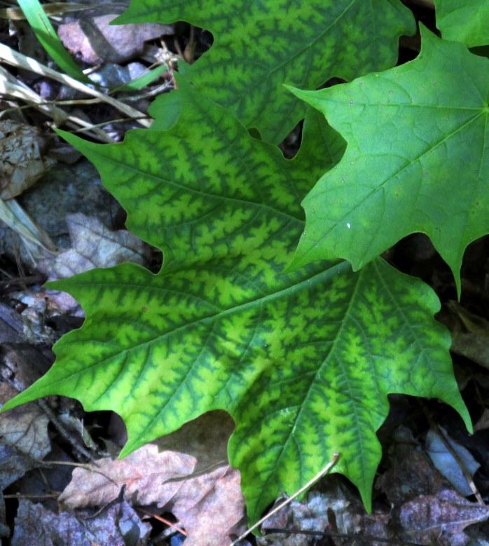 maple leaf I like