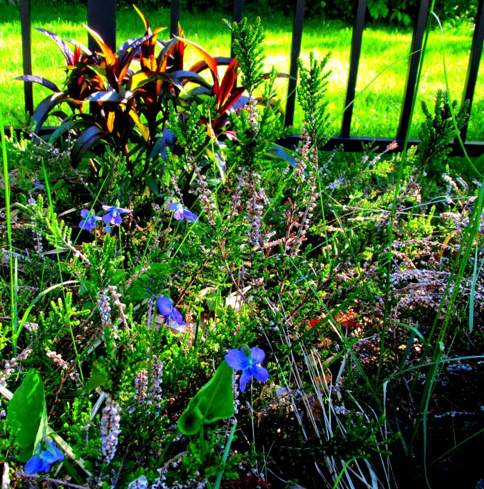 violets, heather, and penstemon in back border