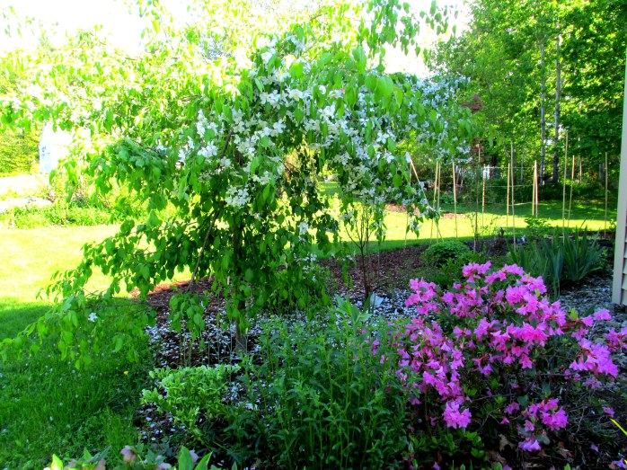 weeping 'Jade' crabapple and 'Olga Mezitt' rhodos in bloom