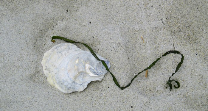 white oyster shell and piece of sea flora