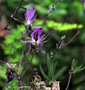 wild azalea bloom