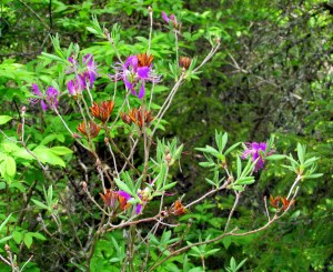 wild azalea in bloom