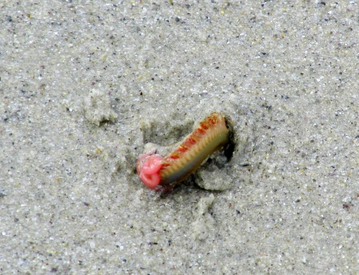 a worm burrowing into the sand