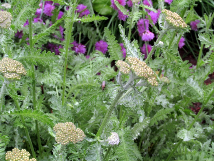 yarrow and chives
