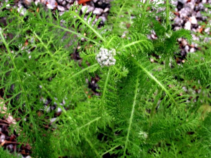 yarrow (Achillea millefolium) in bud