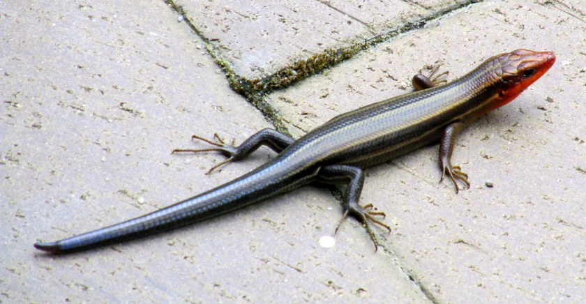 5-lined skink in sculpture garden