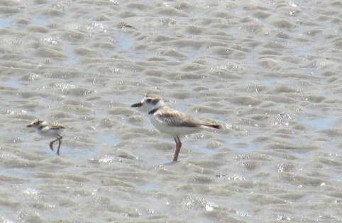 Wilson's plovers - near South Dunes, Jekyll Island