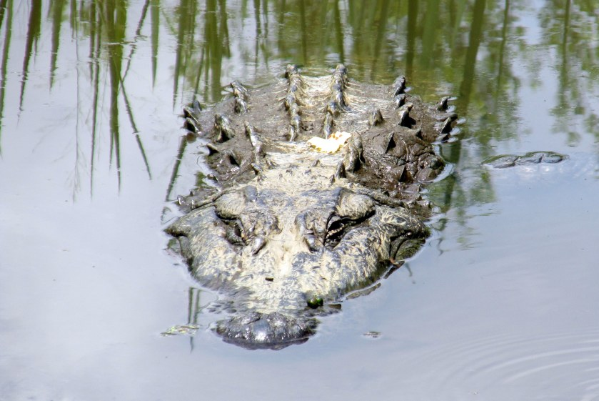 front view of alligator in pond