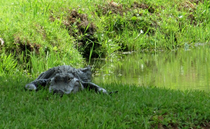 front view: alligator on lawn