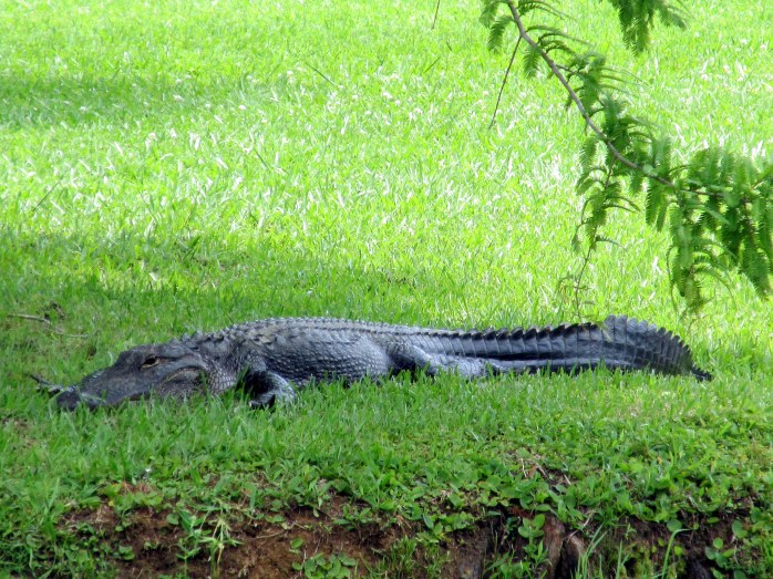 side view: alligator on lawn
