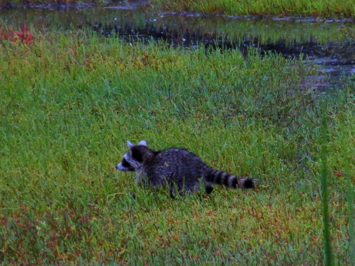 raccoon baby in Clam Creek marsh, Sept. 2013