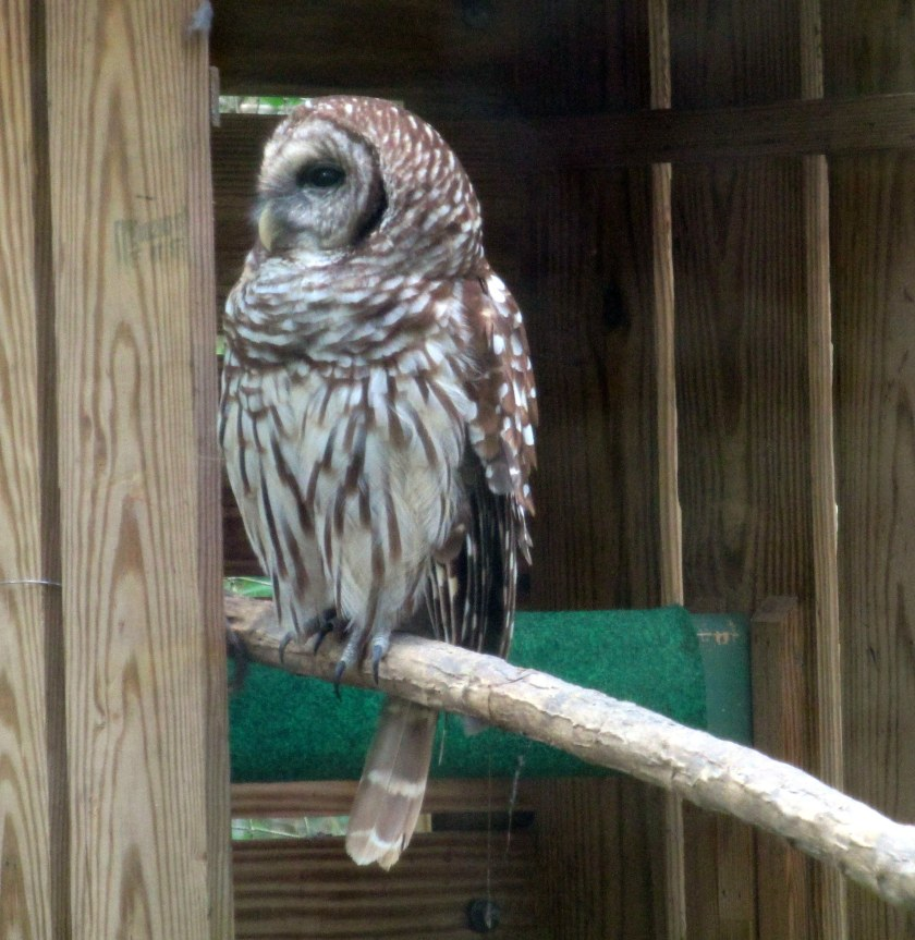 barred owl (injured)