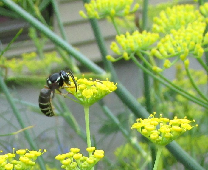 bee (yellow jacket?) on fennel, Aug 2013
