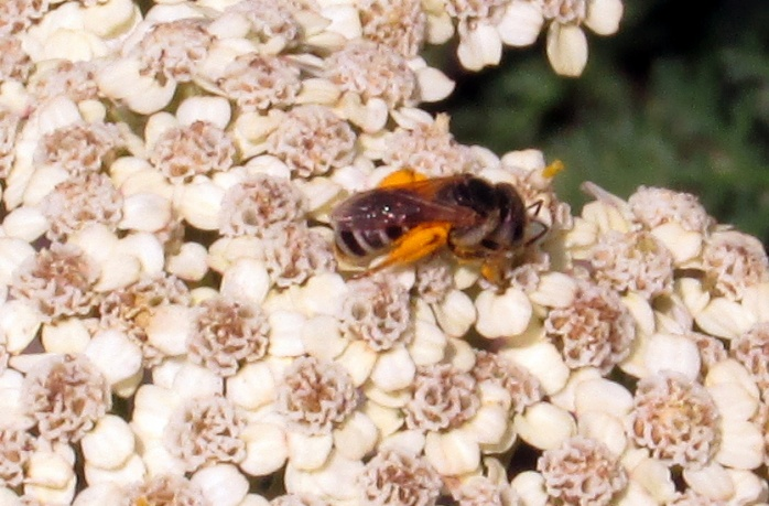 bee with pollen on yarrow, today