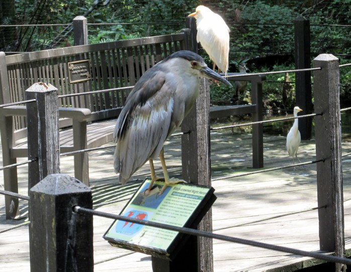 black-crowned night heron on its sign in aviary