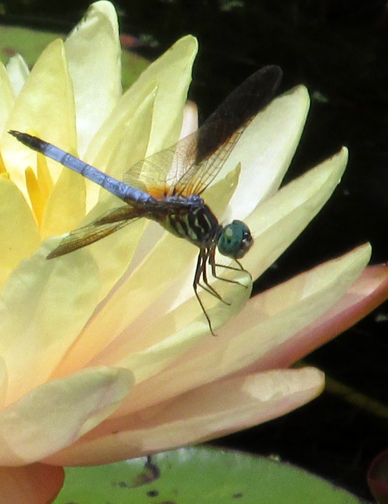 blue and green dragonfly on pink waterlily
