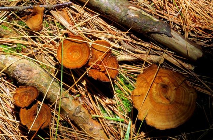 brown-ringed fungi