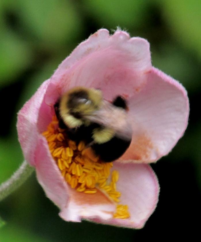 bumblebee buzzing on anemone tormentosa,  Sept. 2013