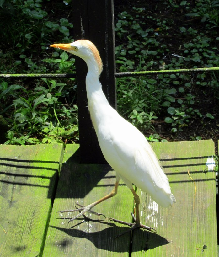 cattle egret in aviary