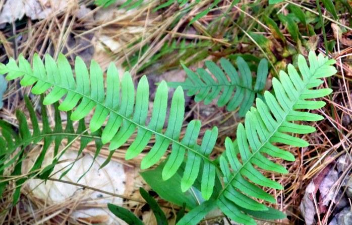 common polypody fern