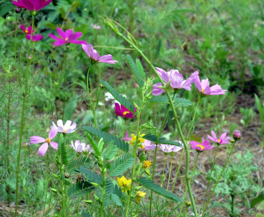 cosmos and others near Spanish goats