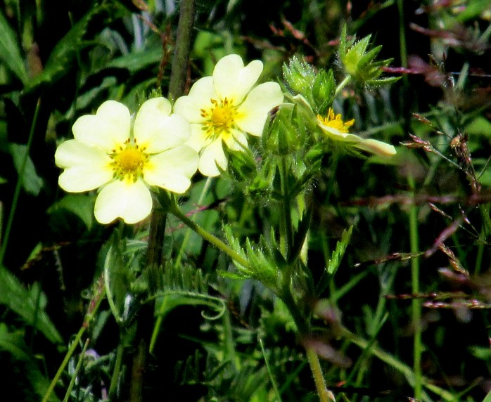 Potentilla recta (Sulphur Cinquefoil) in bloom