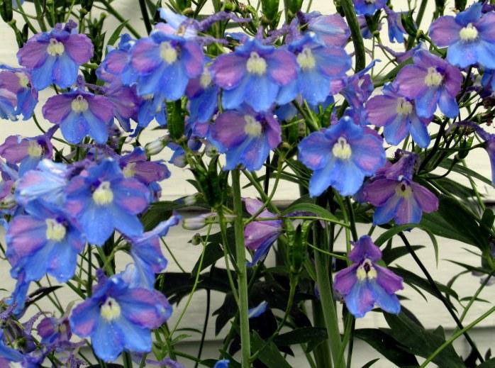 delphinium blooms