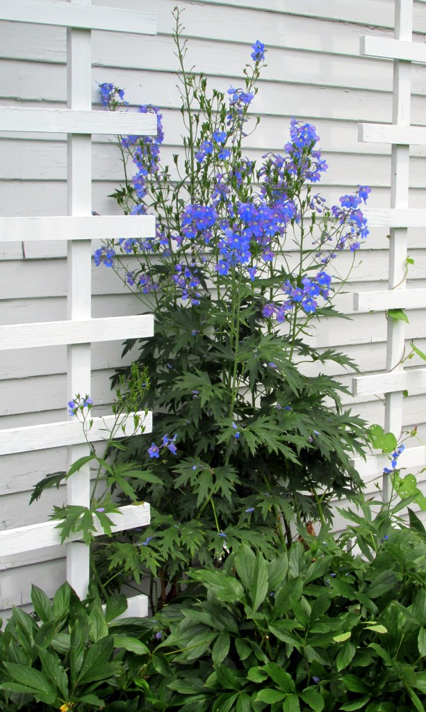 delphinium in bloom by house