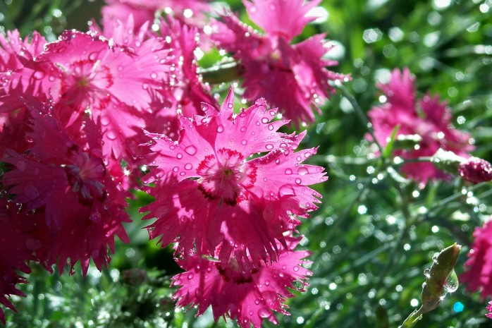 dianthus in rain, June 2008