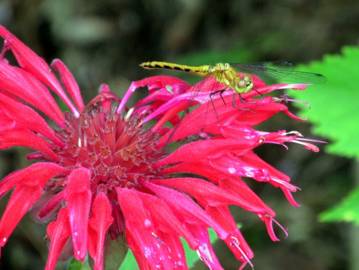 dragonfly on bee balm, July 2013