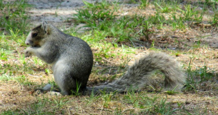 another of the Southern fox squirrel