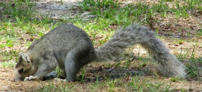 Southern fox squirrel ... so cute!