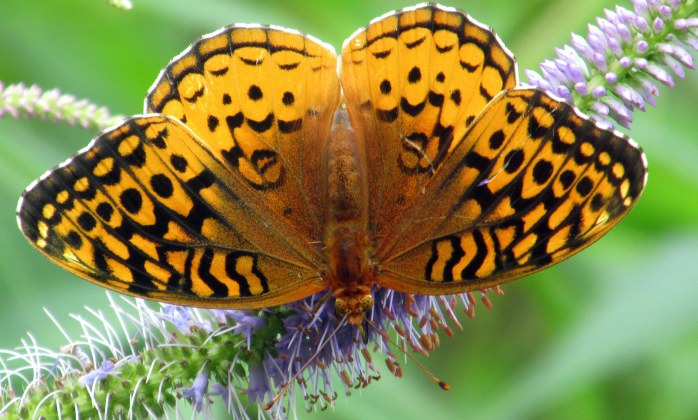 fritillary on veronicastrum, July 2014