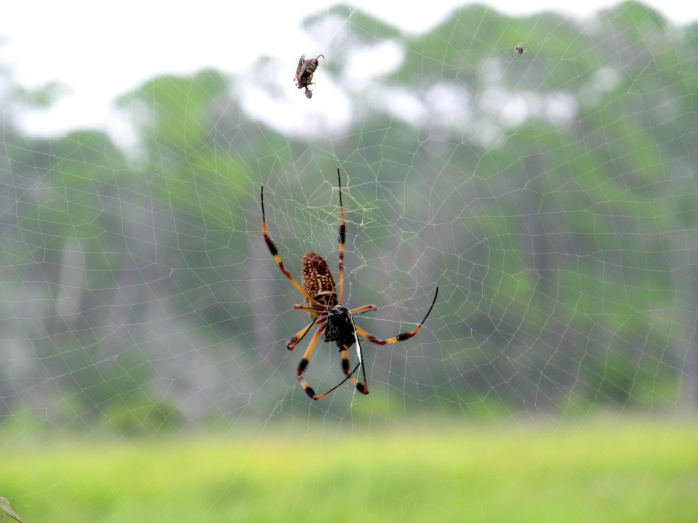 golden orb weaver spider, Clam Creek marsh, Sept. 2013