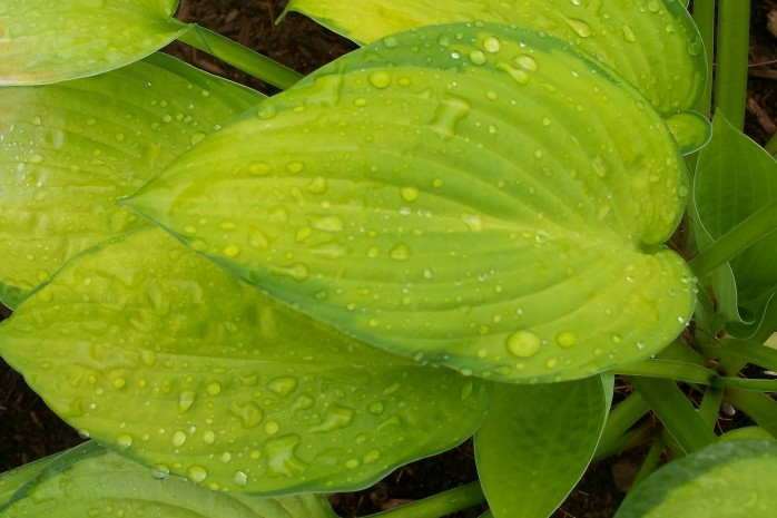 Gold Standard hosta with raindrops, July 2011