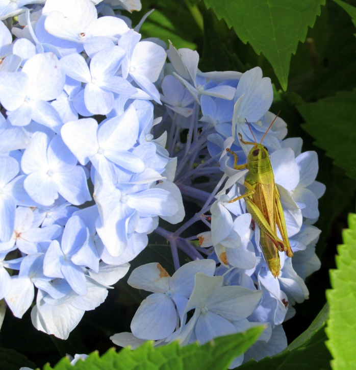 grasshopper on hydrangea, July 2013