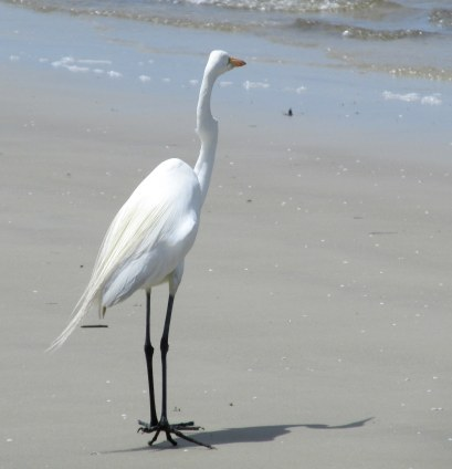 great egret St. Andrews, Jekyll Island